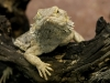 lizard_wallpaper_013