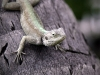 lizard_wallpaper_018