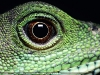 lizard_wallpaper_019