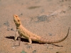 lizard_wallpaper_021