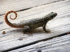 lizard_wallpaper_022