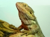 lizard_wallpaper_025
