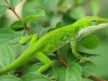 lizard_wallpaper_029