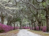 Roadway through Live Oaks and Azaleas in full bloom, St. Bonaventure Cemetery, Savannah, Georgia