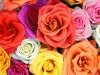 rose_flower_wallpaper_004