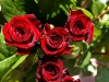 rose_flower_wallpaper_010