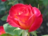 rose_flower_wallpaper_011