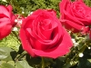rose_flower_wallpaper_012