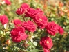 rose_flower_wallpaper_013