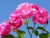rose_flower_wallpaper_016