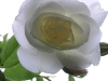 rose_flower_wallpaper_021
