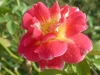 rose_flower_wallpaper_022