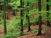 beechwood_forest_skane_sweden_wallpaper