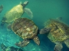 turtle_wallpaper_003