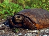 turtle_wallpaper_008