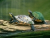 turtle_wallpaper_011