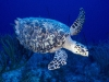 turtle_wallpaper_012