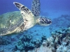 turtle_wallpaper_016