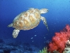 turtle_wallpaper_019