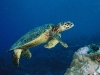 turtle_wallpaper_020