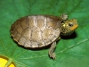 turtle_wallpaper_026