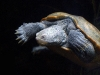 turtle_wallpaper_029