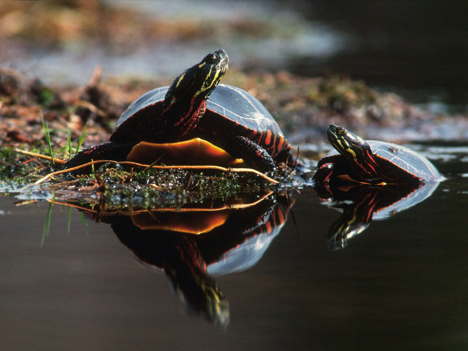 turtle_wallpaper_002