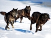 wolves_wallpaper_006