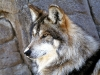 wolves_wallpaper_011