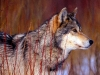 wolves_wallpaper_014
