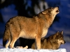 wolves_wallpaper_015