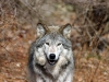 wolves_wallpaper_022