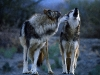 wolves_wallpaper_026