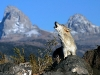 wolves_wallpaper_027