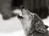 wolves_wallpaper_028