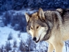 wolves_wallpaper_029