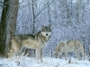 wolves_wallpaper_031