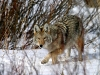 wolves_wallpaper_034