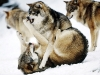 wolves_wallpaper_035