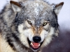 wolves_wallpaper_036