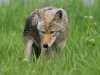 wolves_wallpaper_037