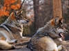 wolves_wallpaper_039