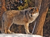wolves_wallpaper_040