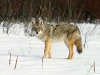 wolves_wallpaper_041