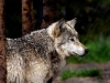 wolves_wallpaper_042