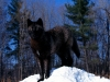 wolves_wallpaper_045