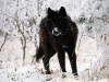 wolves_wallpaper_046